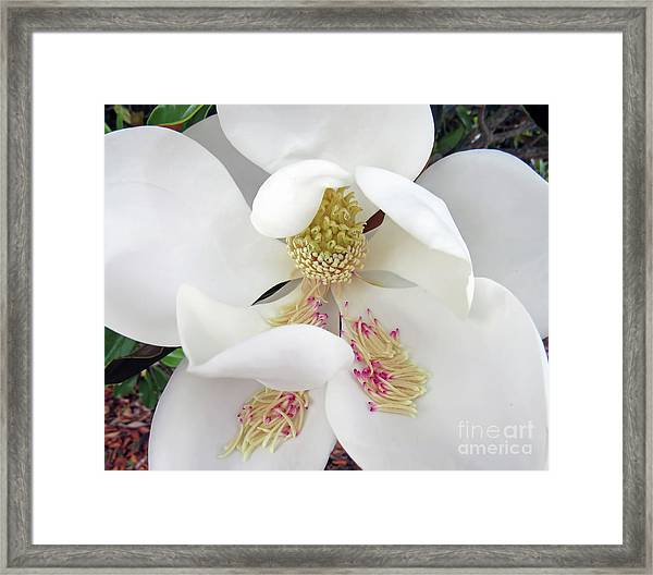 Unfolding Beauty Of Magnolia Framed Print