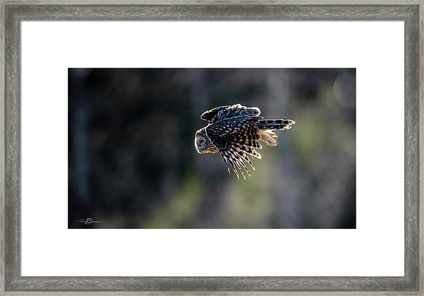 Ural Owl Flying Against The Light To Catch A Prey  Framed Print