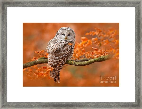 Ural Owl, Strix Uralensis, Sitting On Framed Print