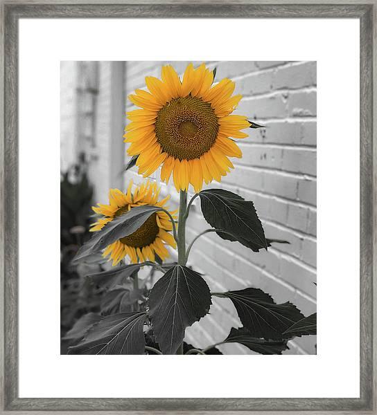 Urban Sunflower - Black And White Framed Print