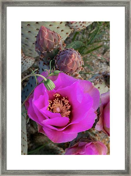 Usa, California Beavertail Prickly Pear Framed Print