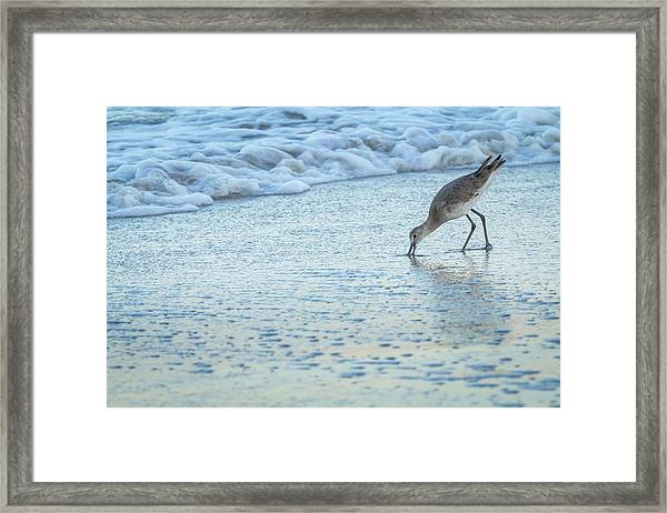 Usa, Florida A Willet Digs In The Sand Framed Print by Margaret Gaines