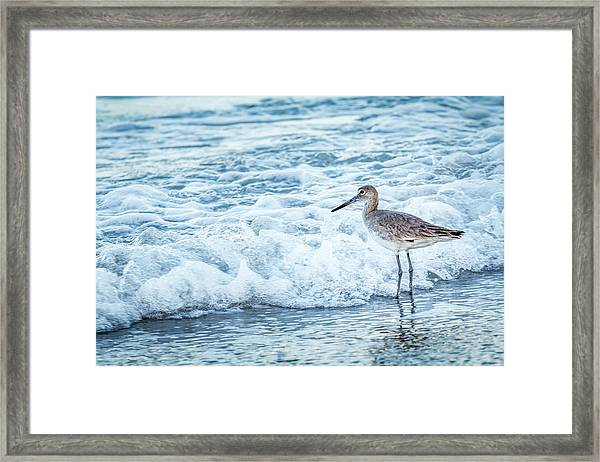 Usa, Florida A Willet, Tringa Framed Print by Margaret Gaines