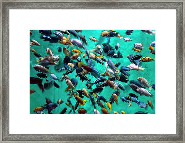 Various Multi-colored African Fish Framed Print by By Ken Ilio