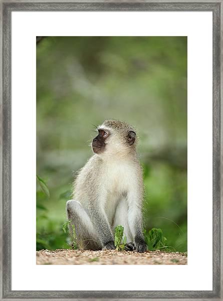 Vervet Monkey Cercopithecus Aethiops Framed Print