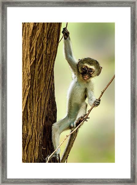 Vervet Monkey Youngster Framed Print