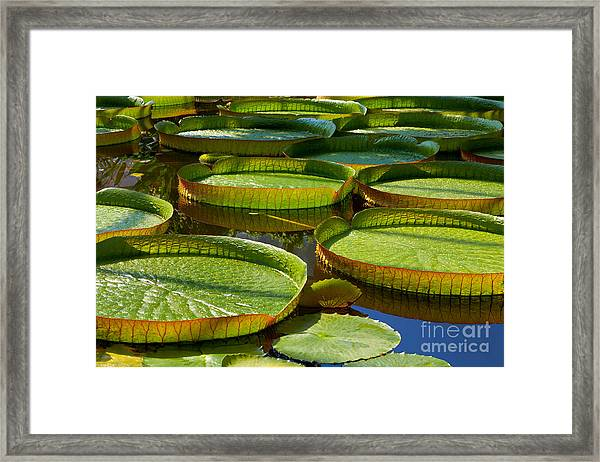 Victoria Amazonica. Victoria Regia Framed Print