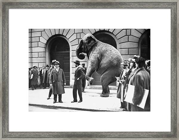 Victory, The G.o.p. Elephant, Stands In Framed Print