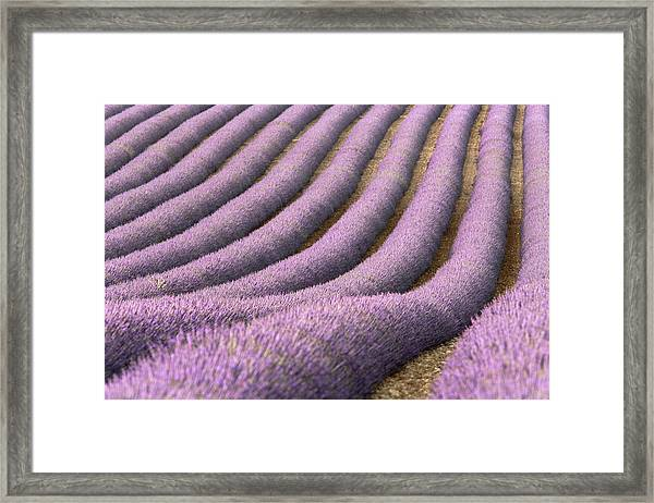 View Of Cultivated Lavender Field Framed Print