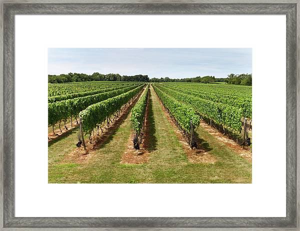 Vineyard In The Hamptons Framed Print