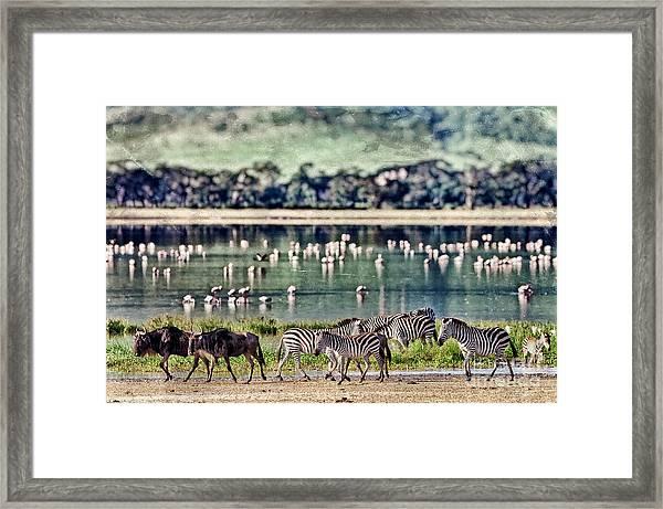 Vintage Style Image Of Zebras And Framed Print