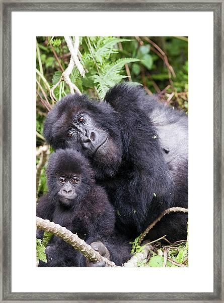 Virunga Mountains, Rwanda, Africa Framed Print by Karen Ann Sullivan