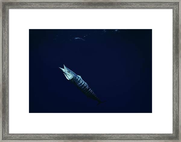 Wahoo Fish Underwater Framed Print
