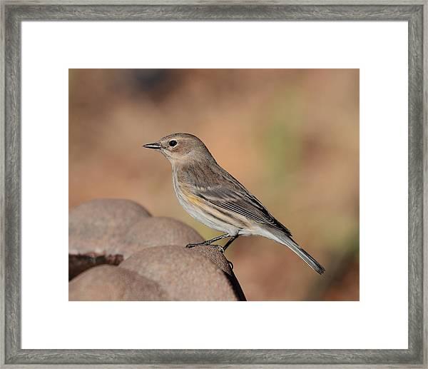 Warbler 4231 Framed Print