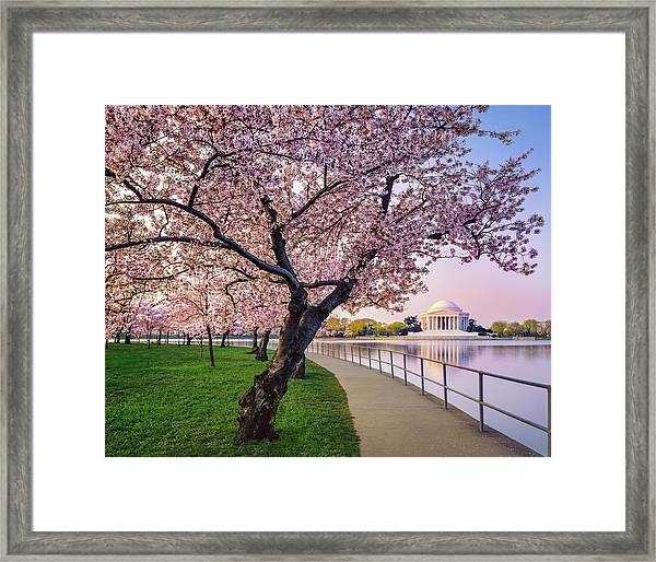 Washington Dc Cherry Trees, Footpath Framed Print