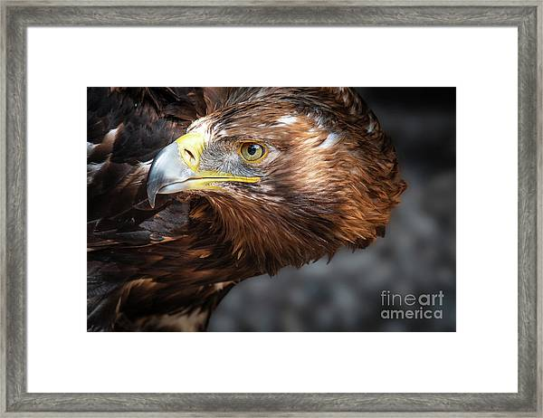 Watching Eagle Framed Print