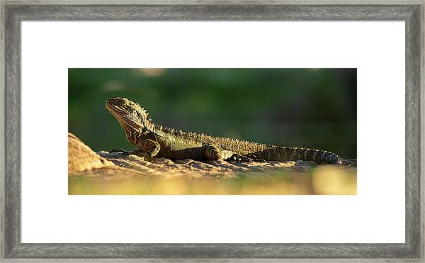 Framed Print featuring the photograph Water Dragon Lizard Outdoors by Rob D Imagery