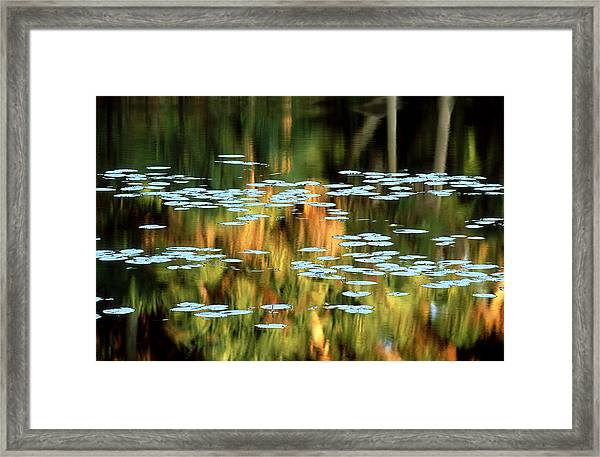 Water-lily Leaf, Florida, Usa Framed Print
