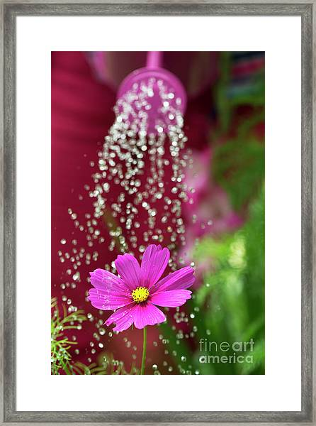Watering A Cosmos Flower Framed Print by Tim Gainey