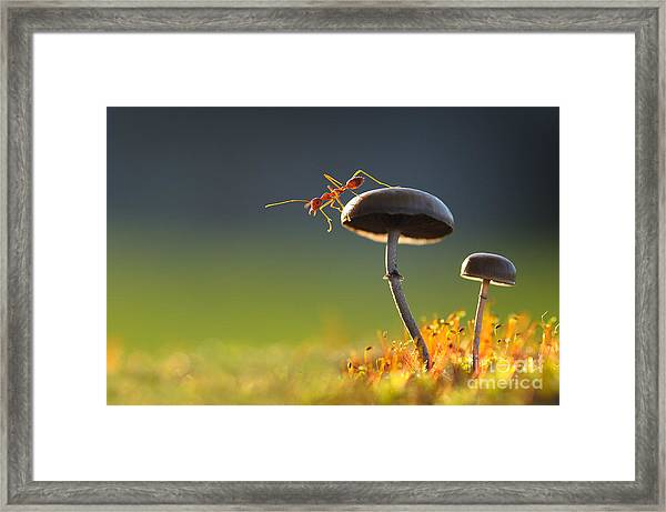 Weaver Ant Want To Jump From A Mushroom Framed Print