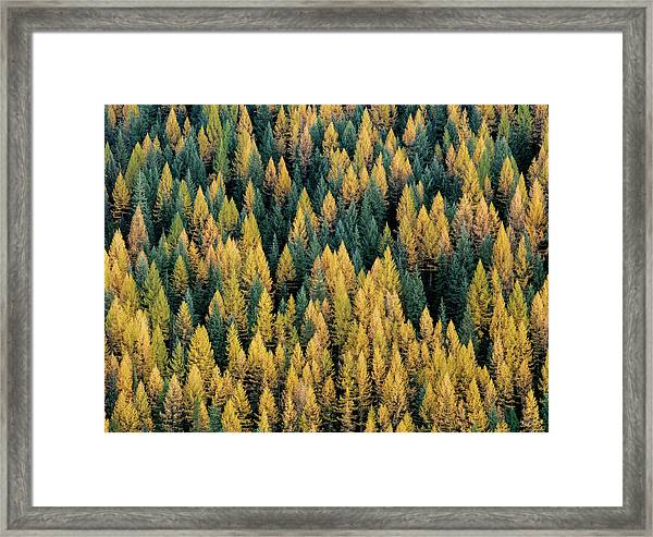 Western Larch Forest Framed Print