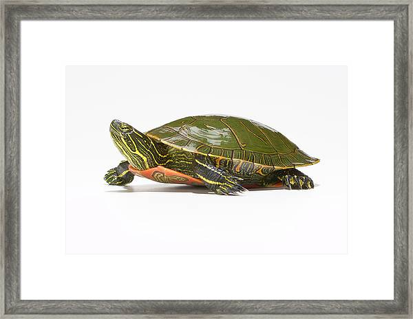 Western Painted Turtle Chrysemys Picta Framed Print