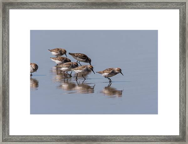 Western Sandpipers And Reflection Framed Print