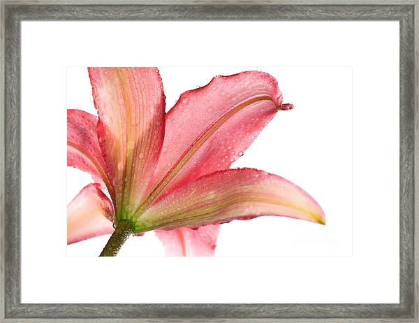 Wet Pink Lily From Below Against White Framed Print by Johan Swanepoel
