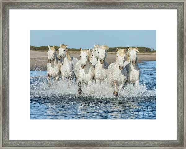 White Camargue Horses Galloping Along Framed Print