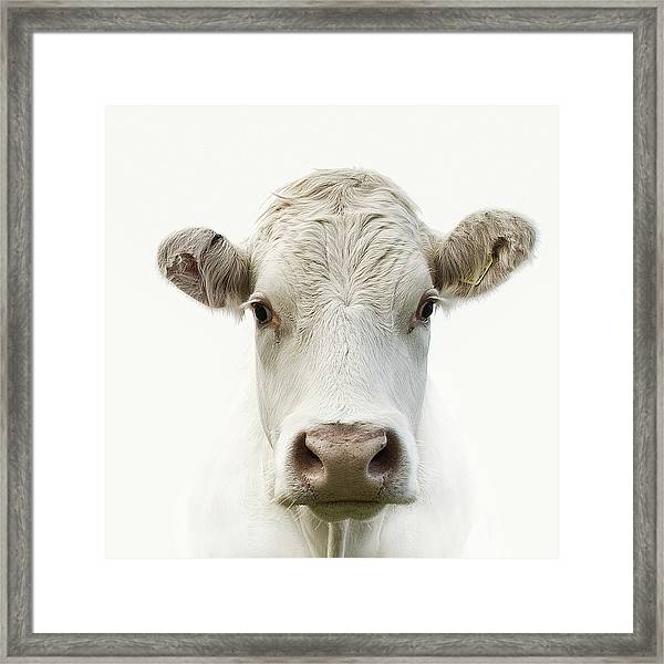 White Cow Framed Print