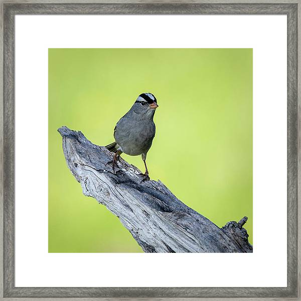 White Crowned Sparrow 1 Framed Print