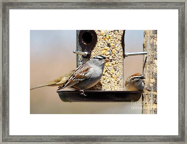 White-crowned Sparrow, Zonotrichia Framed Print