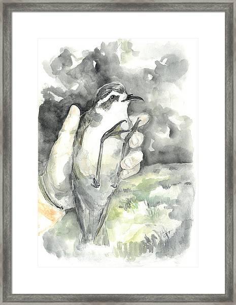 White-faced Storm-petrel Framed Print