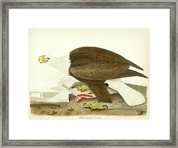 White-headed Eagle Framed Print