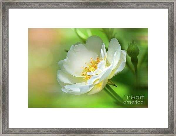 White Iceberg Rose Framed Print