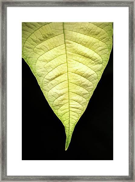 White Poinsettia Leaf Framed Print