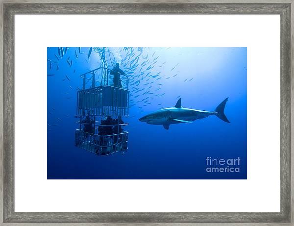 White Shark, Cage  Great White Shark Framed Print