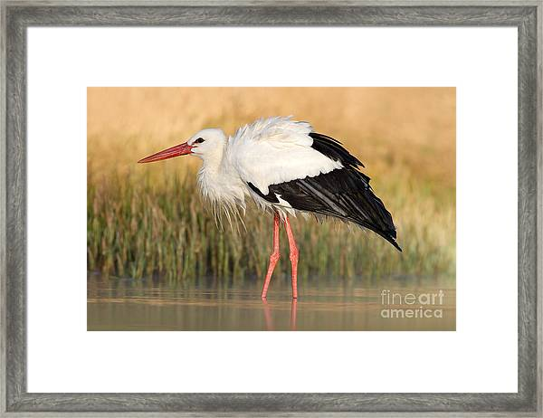 White Stork, Ciconia Ciconia, In The Framed Print
