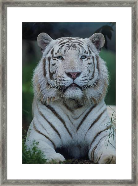 White Tiger Panthera Tigris Lying In Framed Print