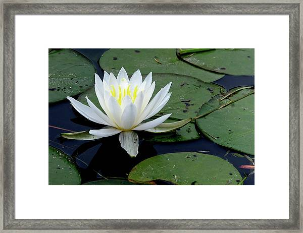 White Water Lilly Framed Print