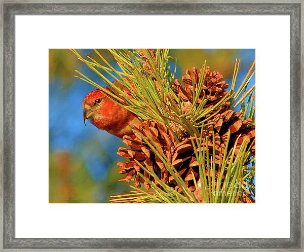 White-winged Crossbill Framed Print