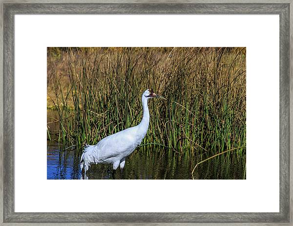 Whooping Crane In Pond Framed Print
