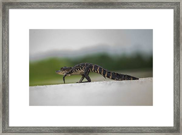 Why Did The Gator Cross The Road? Framed Print