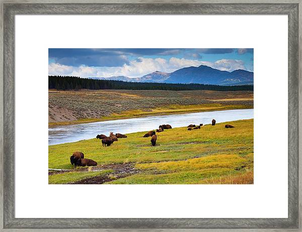 Wild Bison Roam Free Beneath Mountains Framed Print