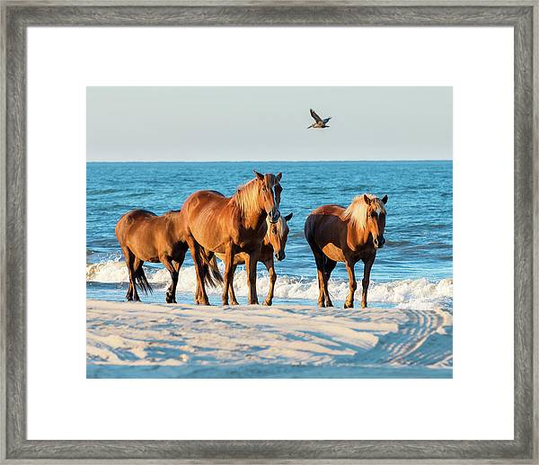 Wild Colonial Spanish Mustangs Of Carova Framed Print