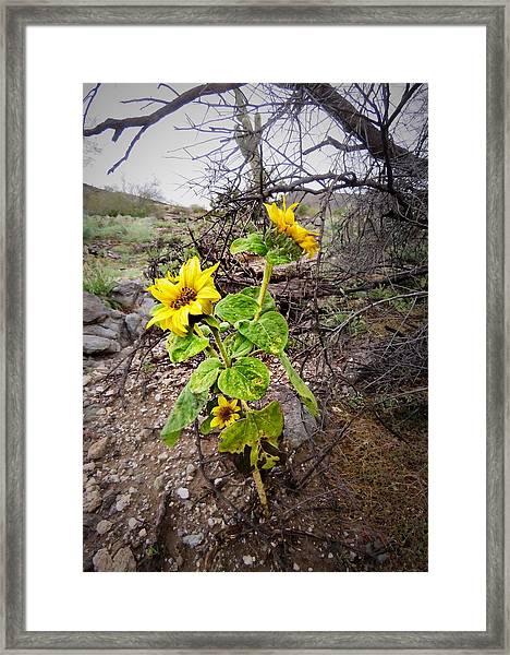 Wild Desert Sunflower Framed Print