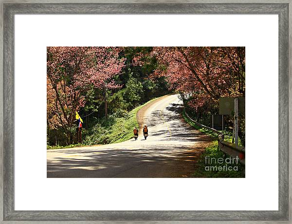 Wild Himalayan Cherry Landscape In Doi Framed Print by Kosin Sukhum