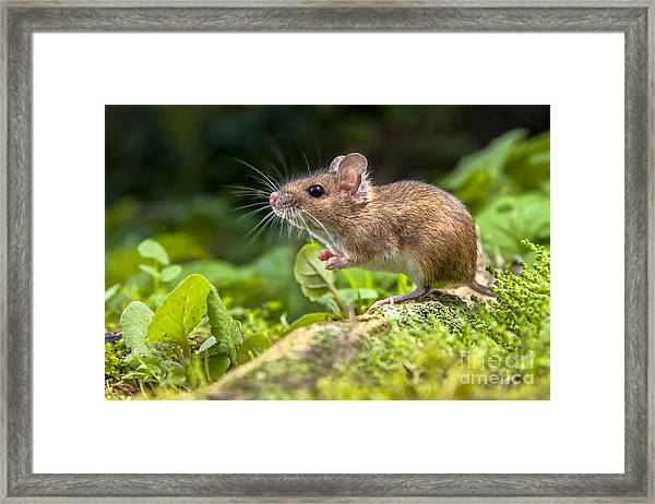 Wild Wood Mouse Resting On The Root Of Framed Print