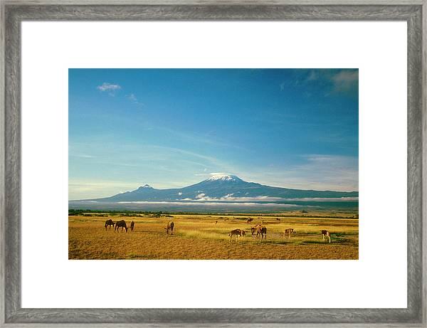 Wildebeest Grazing, Ambos Eli National Framed Print by Myloupe/uig