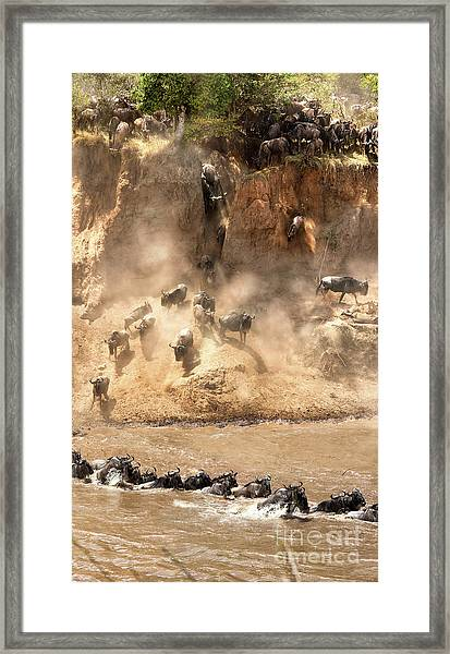 Wildebeest Jump From The Banks Of The Mara  Framed Print
